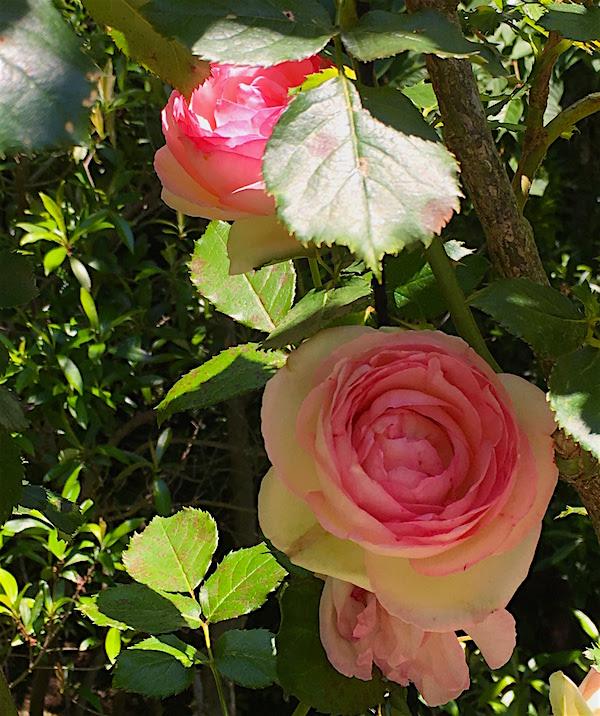 牧野植物園バラ3