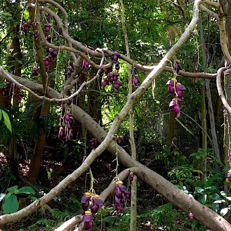 牧野植物園紫のツル