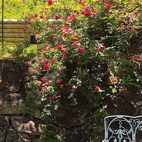 牧野植物園バラ1