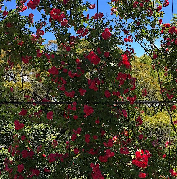 牧野植物園バラ4