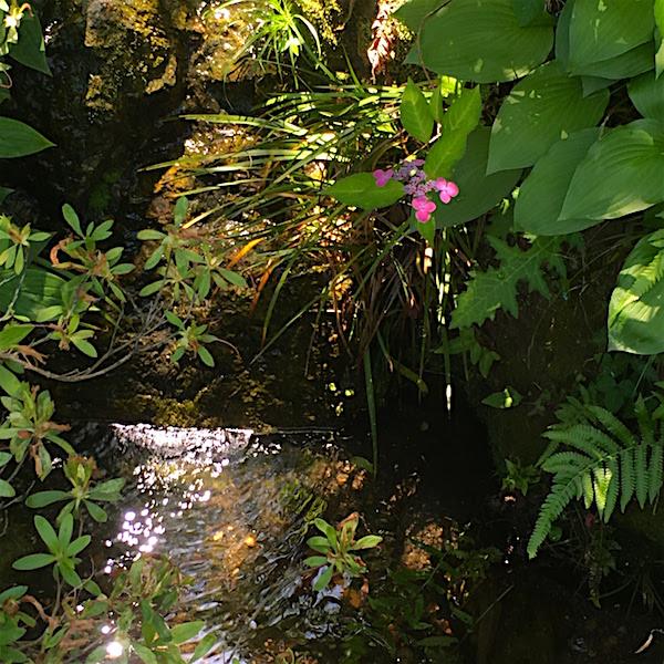牧野植物園アジサイ6